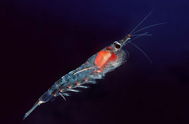 what is krill oil made from