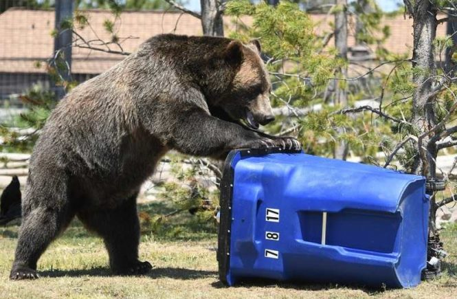 bear after food waste
